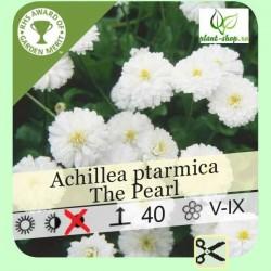 """Achillea ptarmica """"The Pearl"""""""