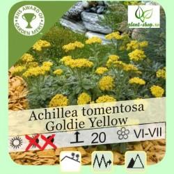 Achillea tomentosa Goldie Yellow G-9