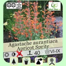 "Agastache aurantiaca ""Apricot Sprite"""