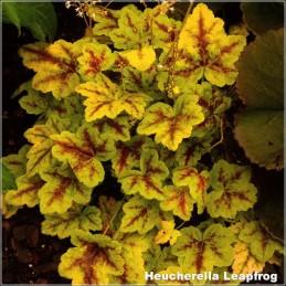 Heucherella Leapfrog