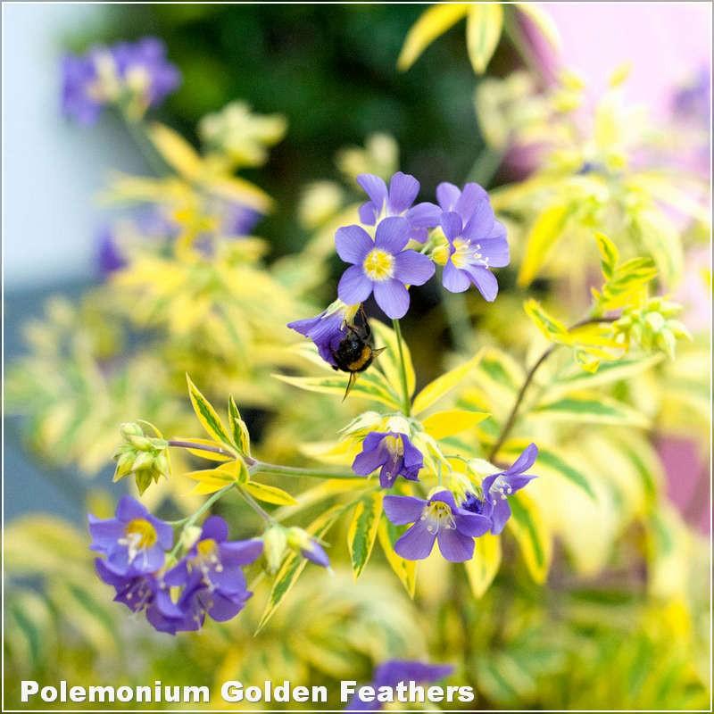 Polemonium Golden Feathers