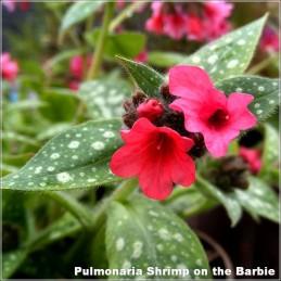 Pulmonaria Shrimp on the Barbie