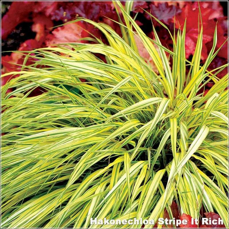 Hakonechloa macra Stripe It Rich