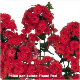 Phlox paniculata Flame Red