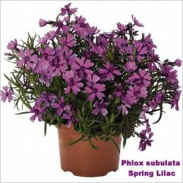 Phlox subulata Spring Lilac