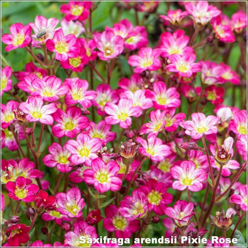 Saxifraga arendsii Pixie Rose