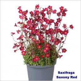 Saxifraga Saxony red