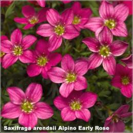 Saxifraga Alpino Early Rose