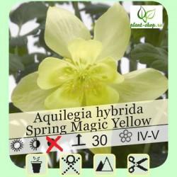 Aquilegia Spring Magic yellow