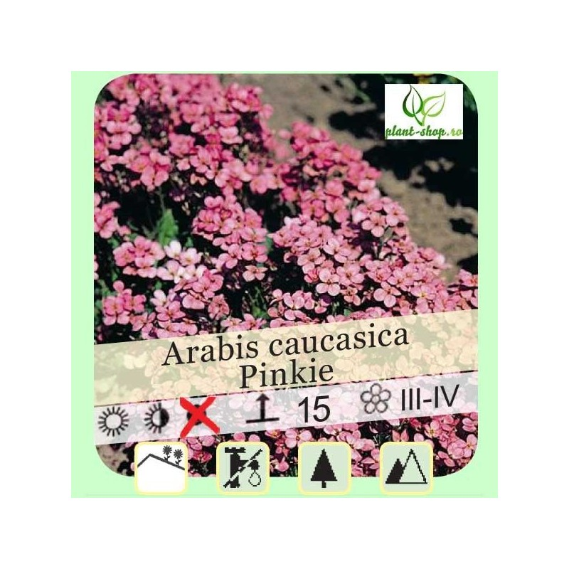 """Arabis caucasica """"Pinkie"""""""