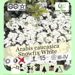 """Arabis caucasica """"Snowfix White"""""""