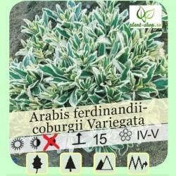 Arabis ferdinandi-coburgii Variegata