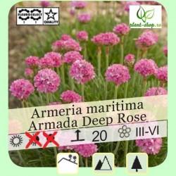 "Armeria maritima ""Armada Deep Rose"""