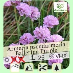 "Armeria pseudarmeria ""Ballerina Purple"""