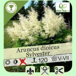 Aruncus dioicus sylvester