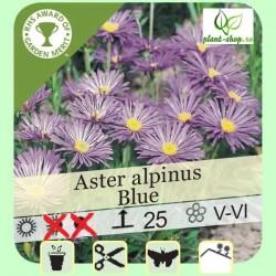 "Aster alpinus ""Blue"""