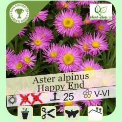 "Aster alpinus ""Happy End"""