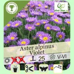 Aster alpinus Violet G-9