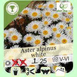 "Aster alpinus ""White"""