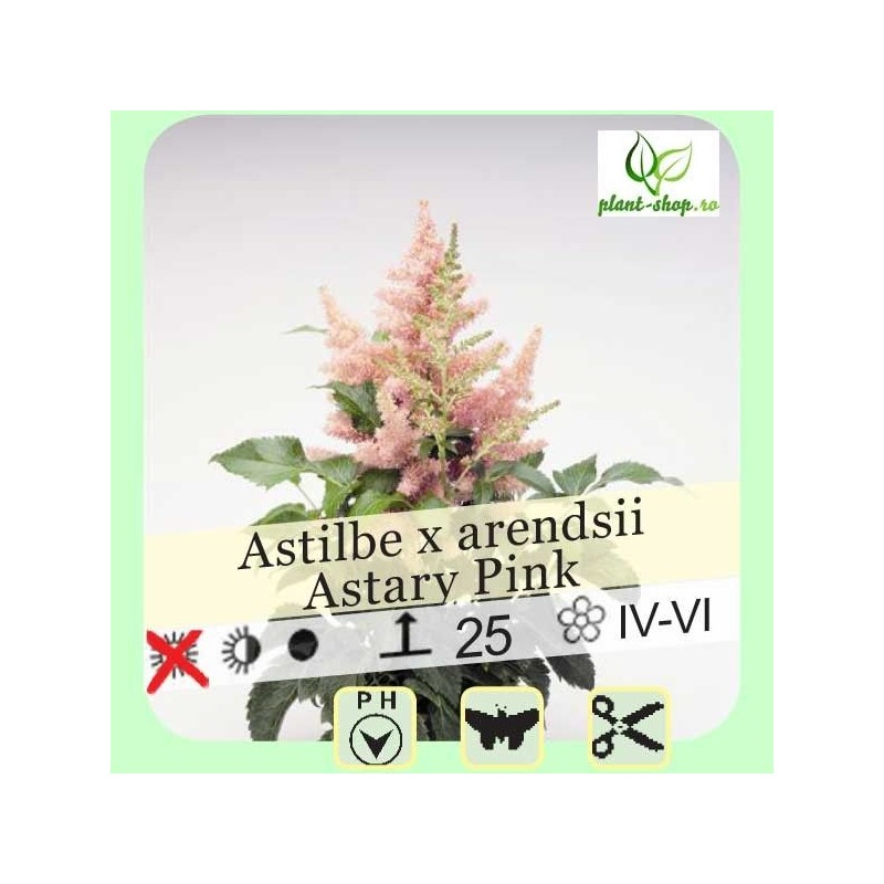 """Astilbe arendsii """"Astary Pink"""""""