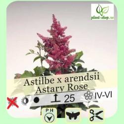 "Astilbe arendsii ""Astary Rose"""