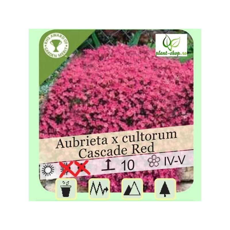 """Aubrieta x cultorum """"Cascade Red"""""""