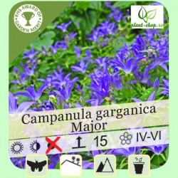 Campanula garganica Major