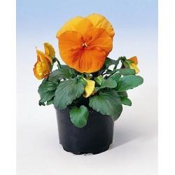 Viola wittrockiana Alpha F1 Orange