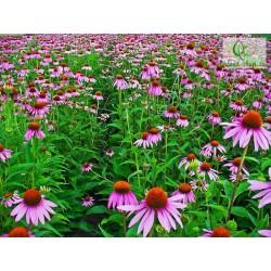 Echinaceea purpurea