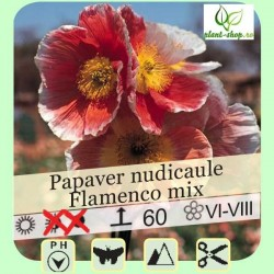 Papaver nudicaule Flamenco