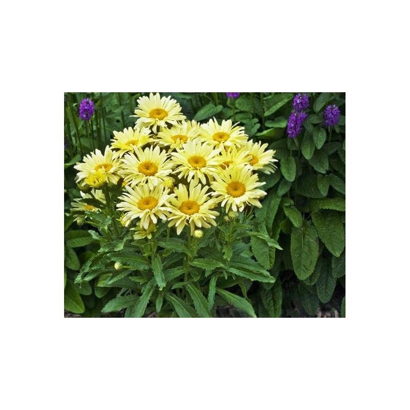 Leucanthemum maximum 'Banana Cream'