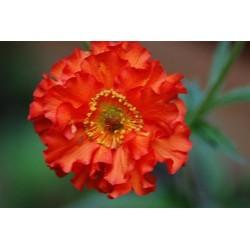 Geum hybrida 'Feuerball Mrs Bradshaw'