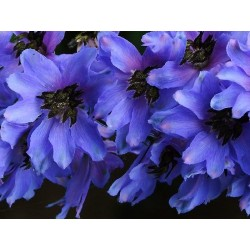 Delphinium x cultorum 'Pacific Giants Black Knight'