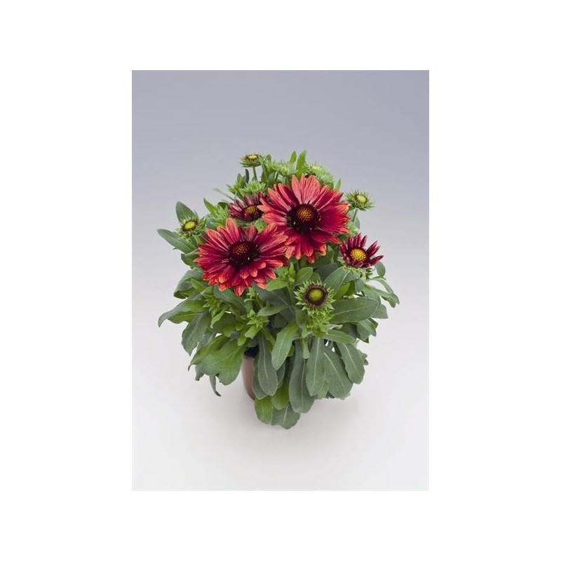 "Gaillardia aristata ""Arizona Red Shades"""