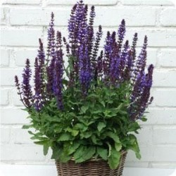 Salvia x superba 'New Dimension Blue'