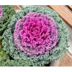 """Varză decorativă """"Brassica oleracea"""""""