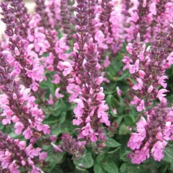 Salvia x superba 'New Dimension Rose'