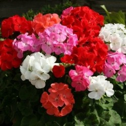 Pelargonium hortorum 'Cabaret F2 mix'
