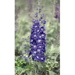 Delphinium x cultorum 'Pacific Giant King Arthur'