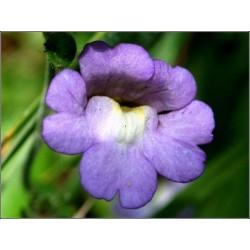 Chaenorhinum origanifolium Blue Dream G-9