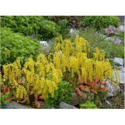 Chiastophyllum oppositifolium G-9