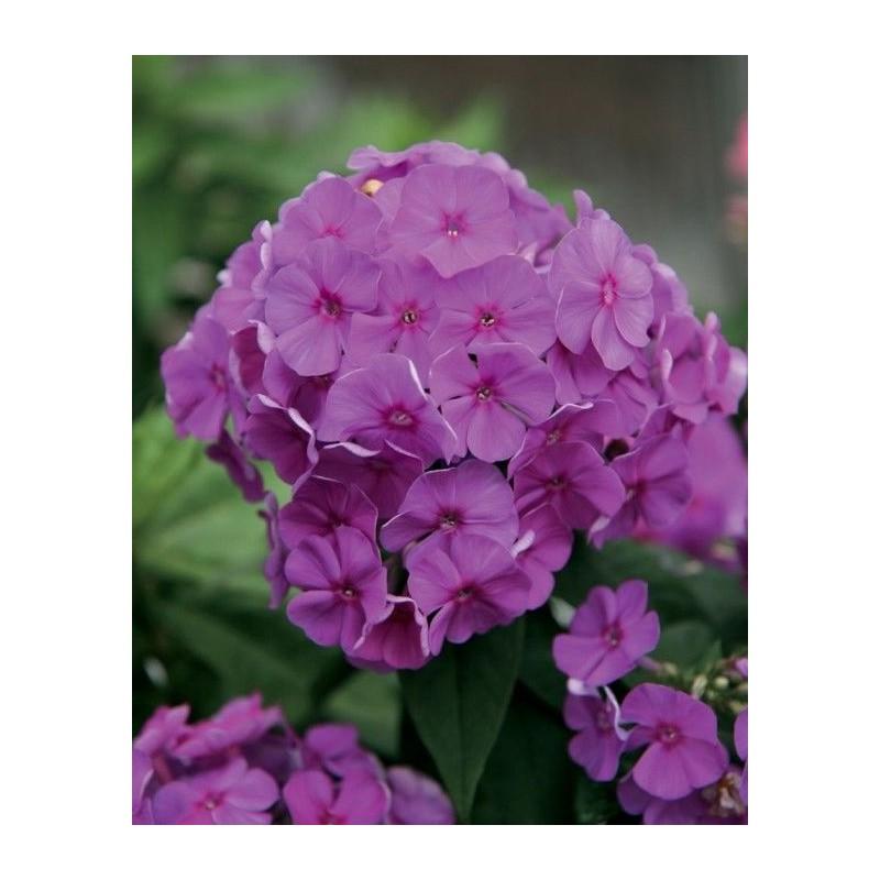 Phlox paniculata 'Flame Purple'