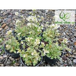 Arabis alpina caucasica variegata