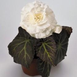 Begonia tuberhybrida 'Nonstop Mocca White'