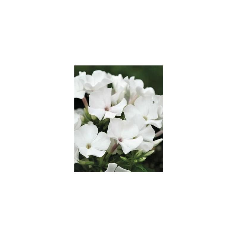 Phlox paniculata 'Flame White'