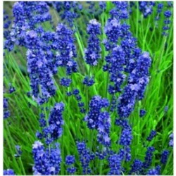 Lavandula angustifolia 'Blue Scent Early Blue'