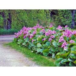 Bergenia cordifolia 'Rose'