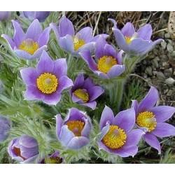 Pulsatilla vulgaris 'Violet'