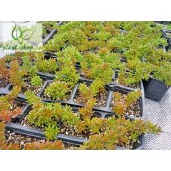 Sedum album 'Nigra' pack 10 plante