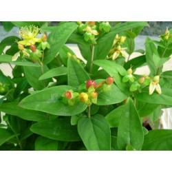 """Sunătoare decorativă """"Hyperycum androseanum"""" Ignite red"""